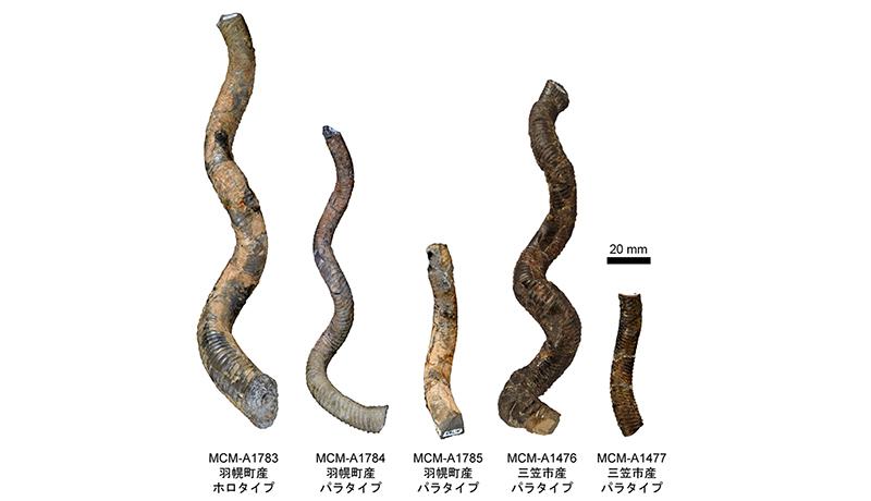 北海道のアンモナイト化石、新種と認定 殻の形状に特徴 三笠市博物館