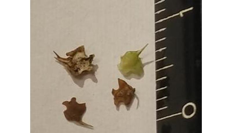 外来植物「メリケントキンソウ」にご注意