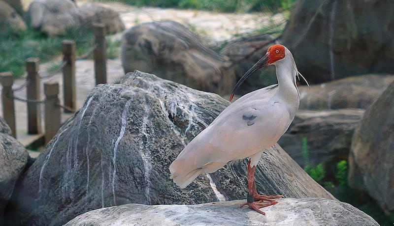 今年はトキ5羽が無事育つ 多摩動物公園