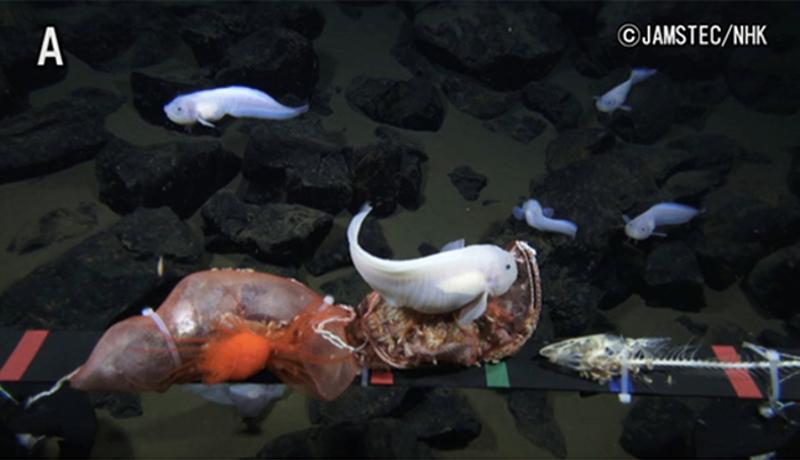 海洋研究開発機構、マリアナ海溝で世界最深の魚の撮影に成功