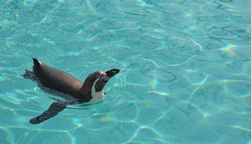 ペンギンはクラゲを食べている 極地研が観測