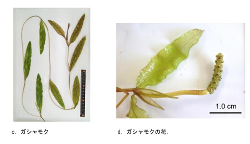 新潟大学など、絶滅危惧の水生植物ガシャモクを発見