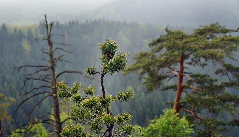 松くい虫、ナラ枯れ被害量減少へ 林野庁が発表