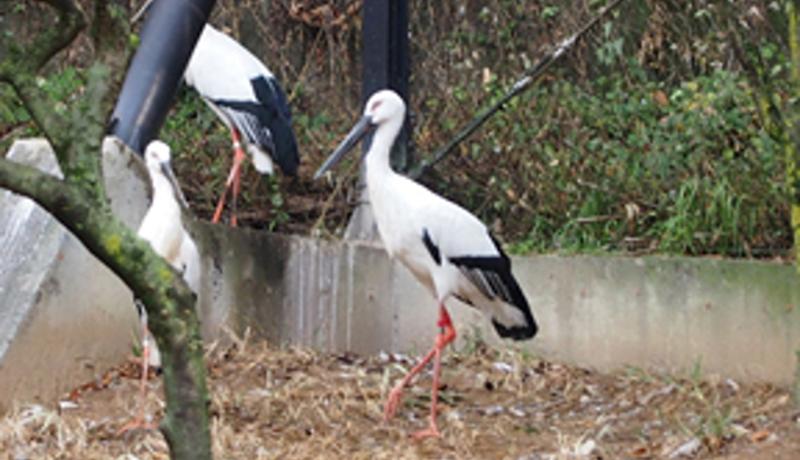 井の頭自然文化園で絶滅危惧種ニホンコウノトリ公開
