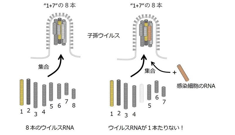 抗インフルエンザ新薬開発への新研究発表 京大
