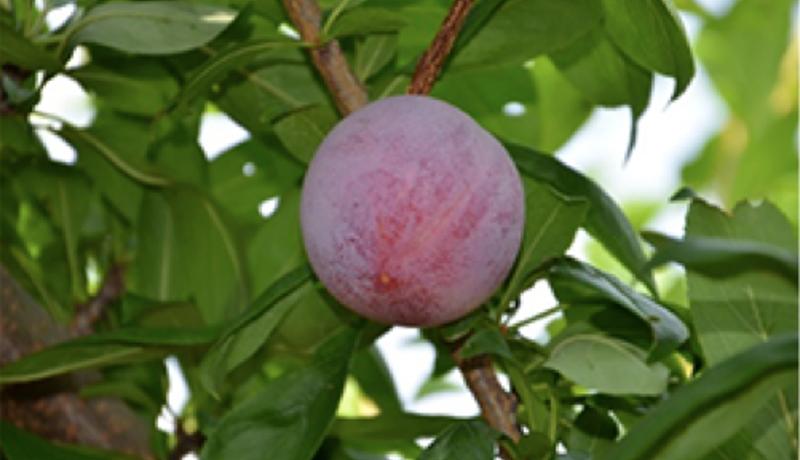 酸味の少ないスモモの新品種 「ハニービート」