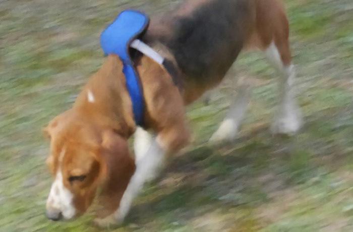 愛犬用のウェアラブルセンサー開発 疾病発見に活用
