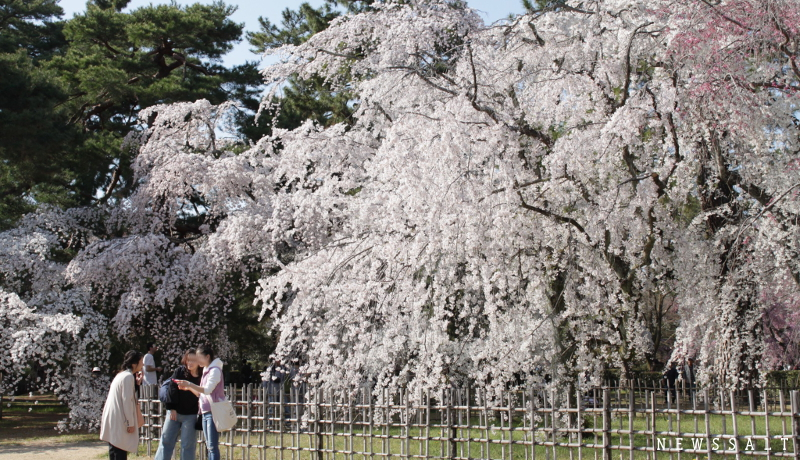 京都御所と哲学の道 3月最終週は桜満開-1-