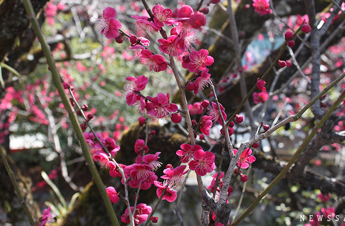 下鴨神社 満開の梅と流し雛