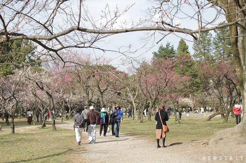 京都御苑の梅の花 見ごろ