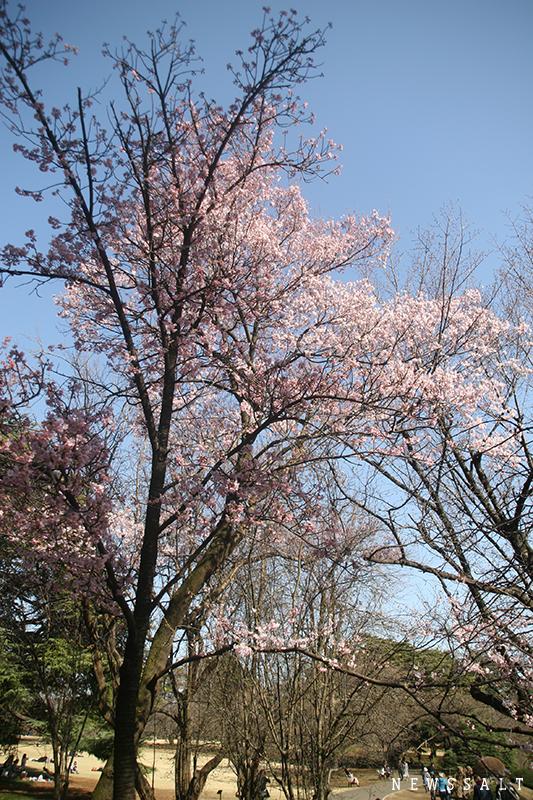 東京のソメイヨシノ開花 去年より4日早く
