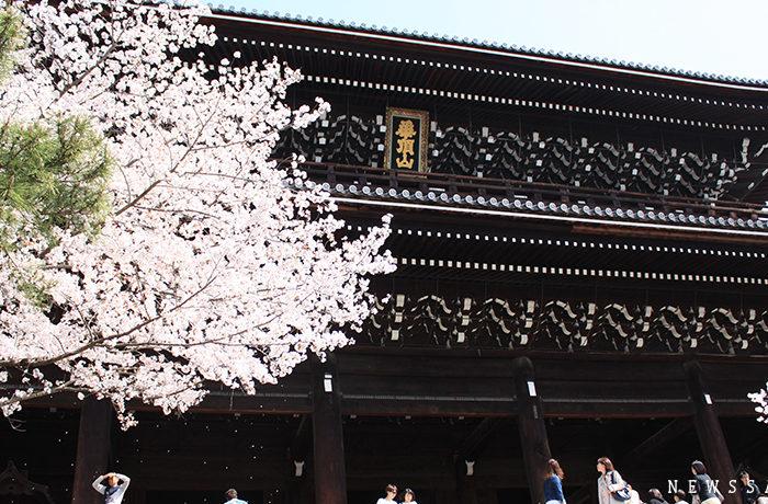 京都・鴨川の桜 早くも花吹雪