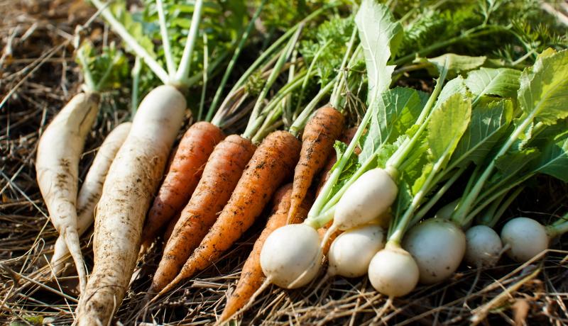 「根菜類画像」の画像検索結果