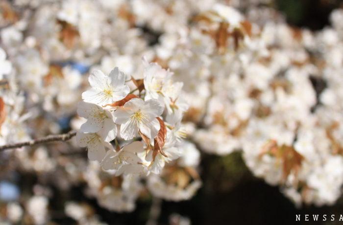 京都御所と哲学の道 3月最終週は桜満開