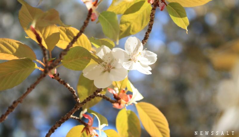 京都御所と哲学の道 3月最終週は桜満開-3