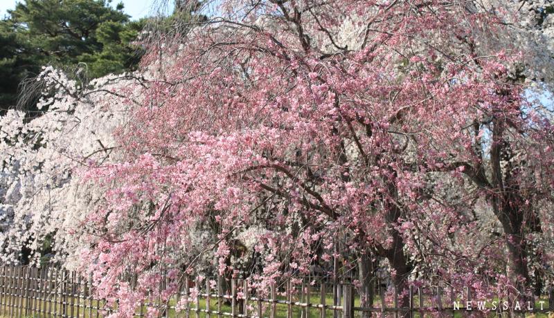 京都御所と哲学の道 3月最終週は桜満開-2
