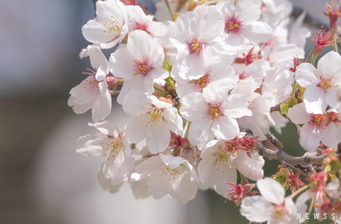 埼玉・権現堂公園 桜と菜の花の二重奏