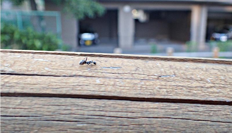 特定外来生物アカカミアリ、長野市で初めて発見