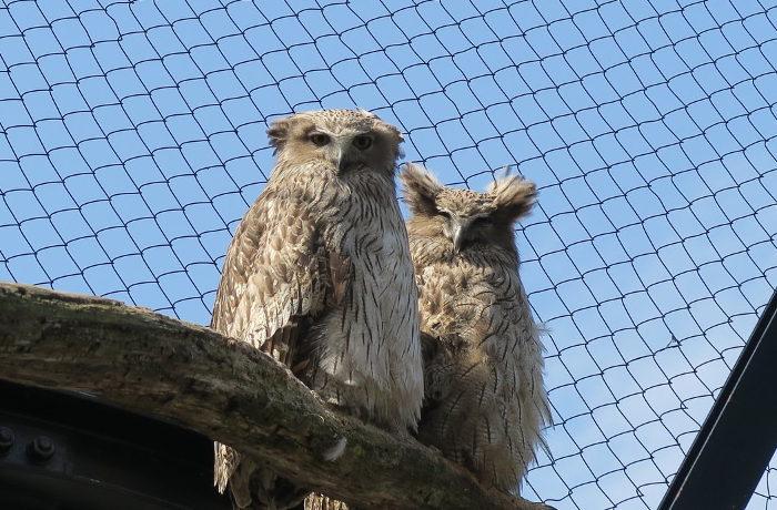 絶滅危惧種シマフクロウの自然繁殖に成功 旭山動物園