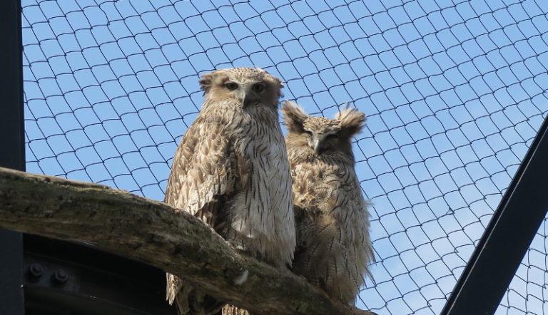 絶滅危惧種シマフクロウの自然繁殖に成功 北海道・旭山動物園