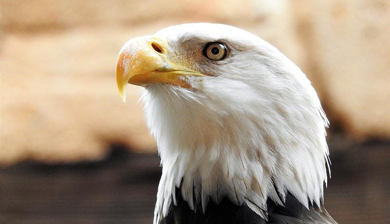 日本平動物園、ハクトウワシの繁殖に成功