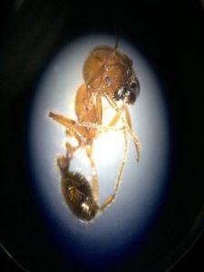 特定外来生物アカカミアリ、空路経由で侵入か 茨城で発見