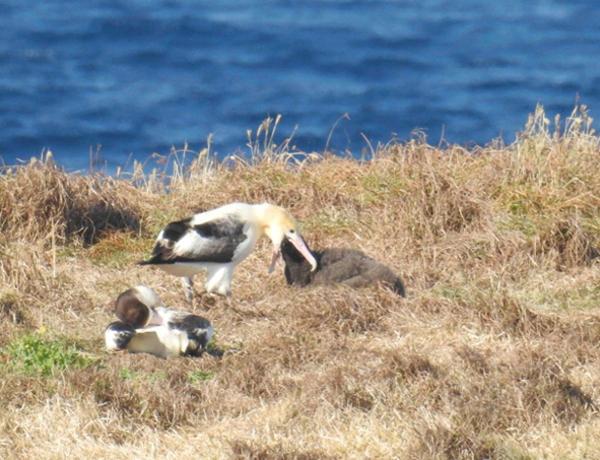 絶滅危惧種アホウドリが3年続けて繁殖成功 小笠原諸島聟島