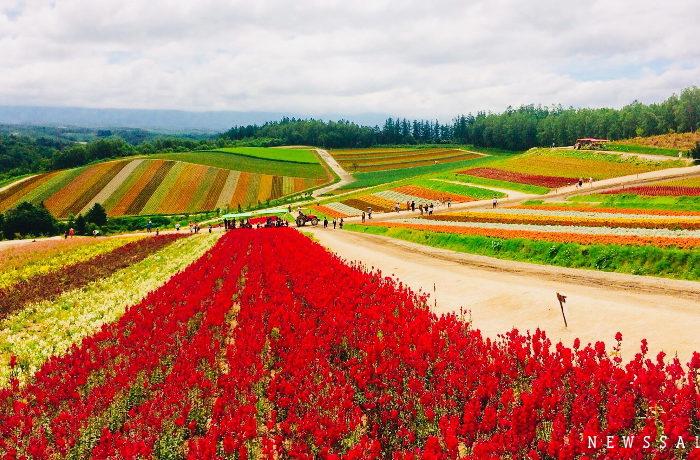 美瑛・四季彩の丘「波打つ丘に広がるカラフルな花の絨毯」