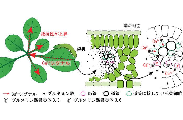 うまみ成分が植物の痛みを訴える 他の葉が捕食された葉の痛みを感じる