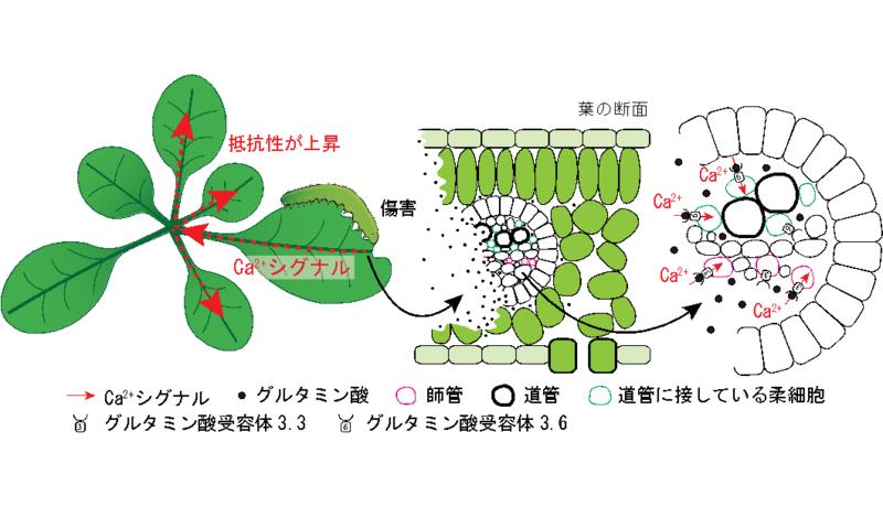 植物の痛みを伝えるシグナルの可視化に成功
