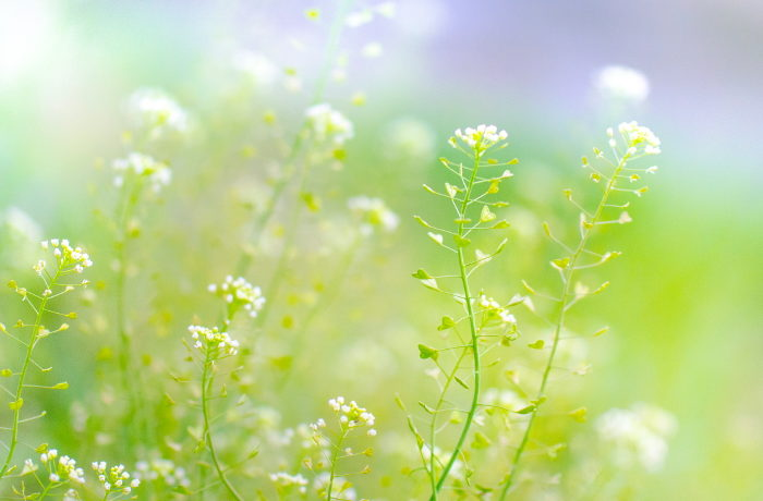 開花を誘導する遺伝子は朝働く 開花メカニズム解明