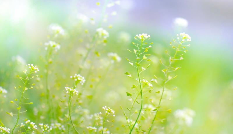 花を咲かすホルモンは夕方ではなく朝に働く