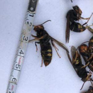 特定外来生物ツマアカスズメバチ、大分市内で初めて確認