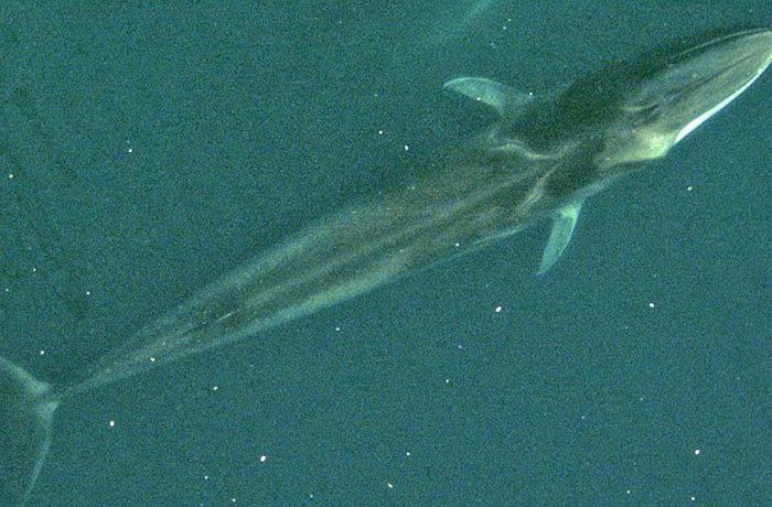 IUCNレッドリスト更新、ナガスクジラとマウンテンゴリラが回復傾向に