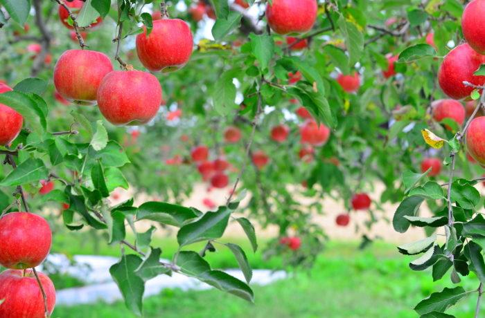フクロウがリンゴ園を守る 害獣ハタネズミを餌として捕獲