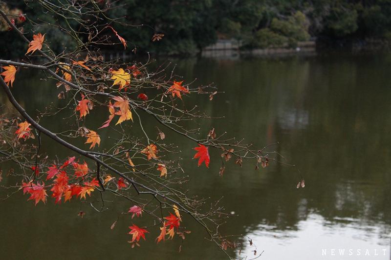 嵐山の紅葉は終盤 ライトアップは17日まで