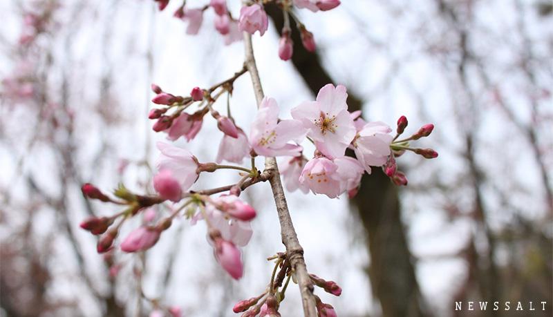 早咲きの枝垂れ桜が満開 京都御苑内、近衛邸跡地