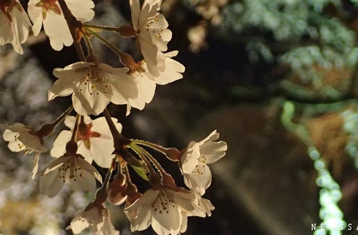 京都府立植物園で夜間ライトアップ始まる 幻想的な夜桜