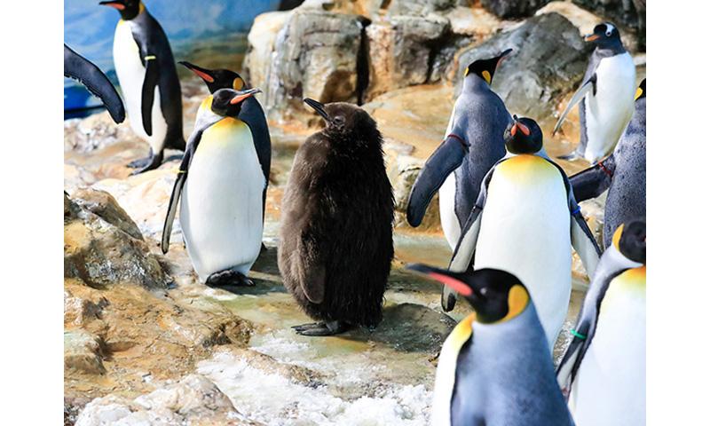 世界初、オウサマペンギンの人工授精に成功 希少種繁殖への応用に期待