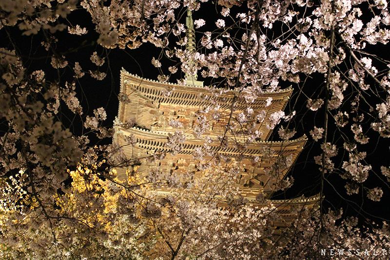 東寺の夜桜ライトアップ 満開の不二桜