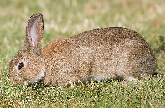 侵略的外来種アナウサギを国内初根絶 石川県七ツ島大島
