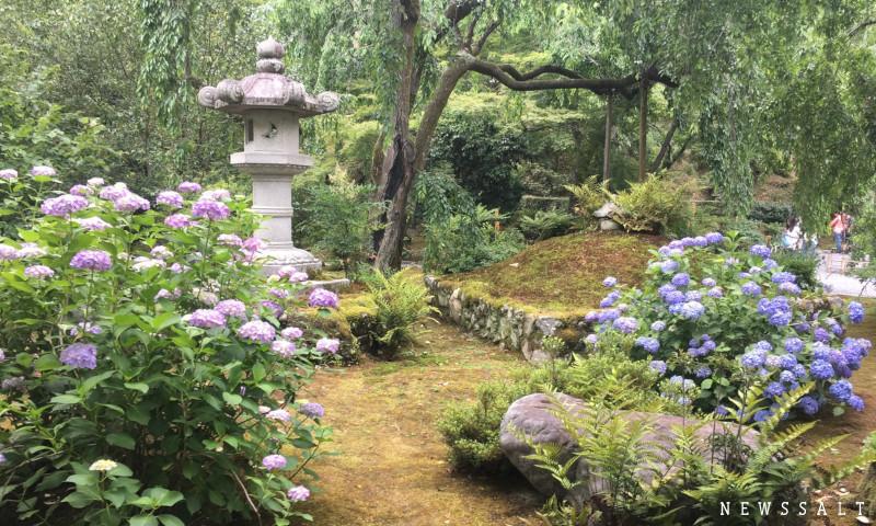 世界遺産・京都「天龍寺」のアジサイは今が見頃