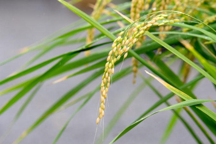 世界初 植物ミトコンドリアのゲノム編集に成功 新品種育成などの応用に期待