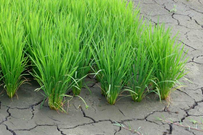 穀物の干ばつ被害を全世界的にマップ化 将来の被害量予測が可能に