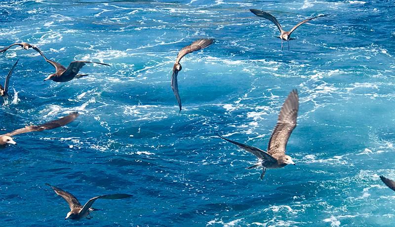プラスチックに含まれる添加剤が海鳥の体内に蓄積される実態が明らかに