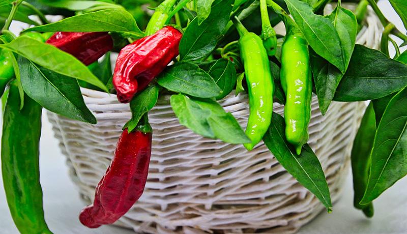 川崎市が新品種「香辛子(こうがらし)」を栽培実証 健康成分と香りが特徴