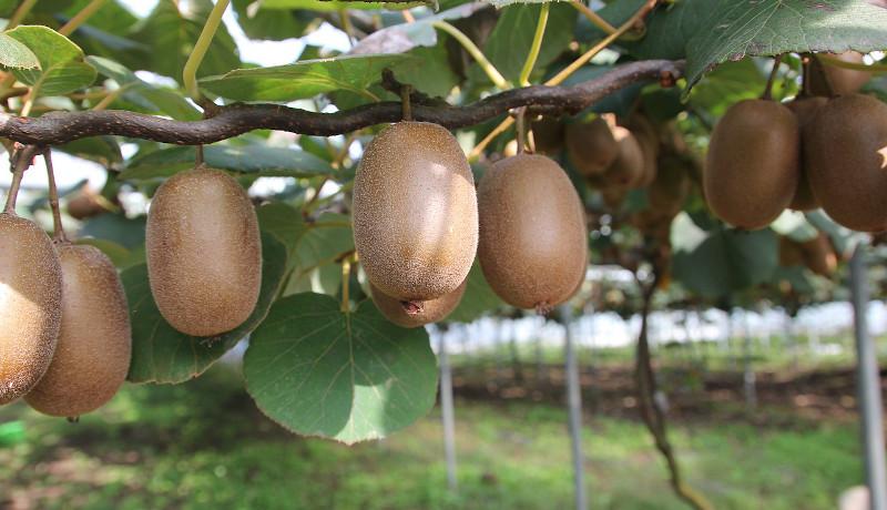 キウイフルーツから植物の性別獲得過程が明らかに 安定栽培への応用に期待