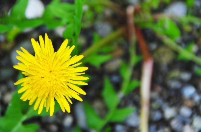 花が閉じる速度が花粉によって変化 カンサイタンポポの実験で明らかに