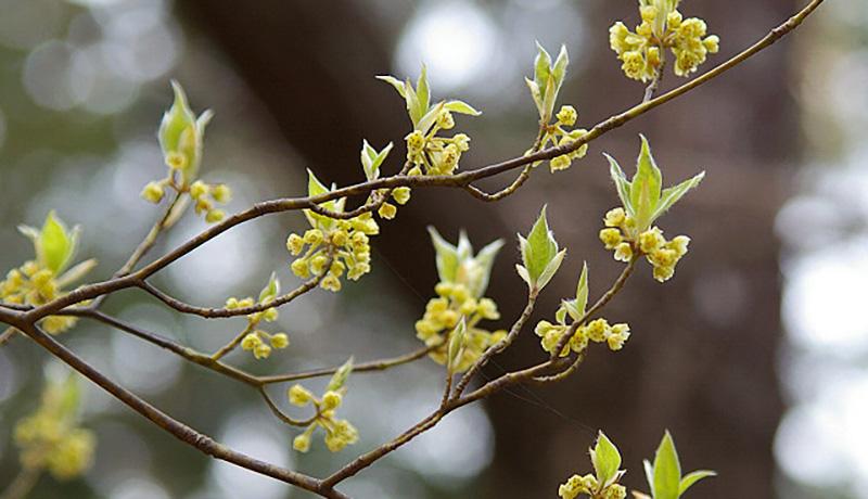 楊枝などに使うクロモジに持続的なインフルエンザ増殖抑制効果 信州大