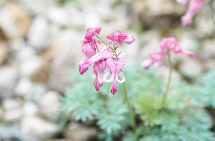 高山植物の開花期間に地球温暖化が影響 北大が市民ボランティアと共同で調査
